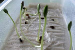 Как вырастить рассаду из семян в бутылке