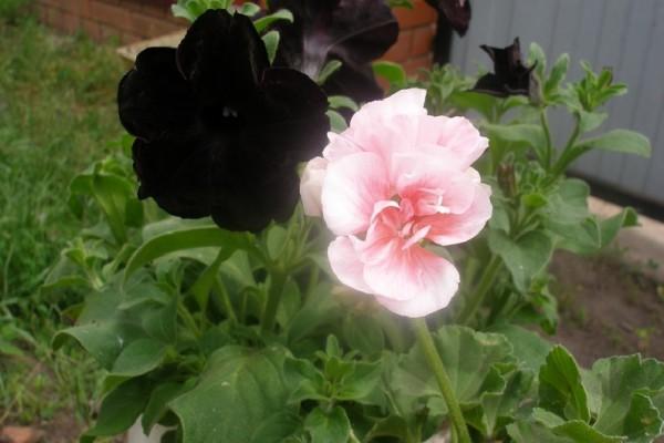 Петуния Софистик Блэкберри в сочетании с нежно-розовой пеларгонией