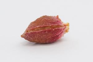 pflaume-kern-plum-pit-stone-seed