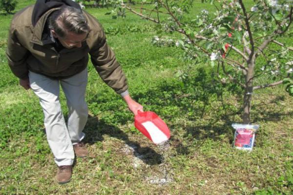 Для усиления завязей ранние сорта сливы требуют внесения фосфорно-калийных удобрений