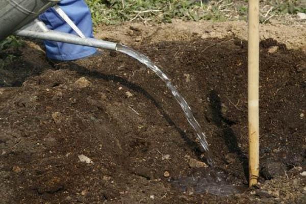 Подготовленная посадочная яма для сливы