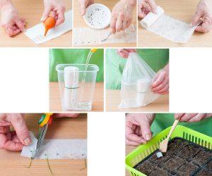 Проращивание семян в туалетной бумаге (нажмите для увеличения)