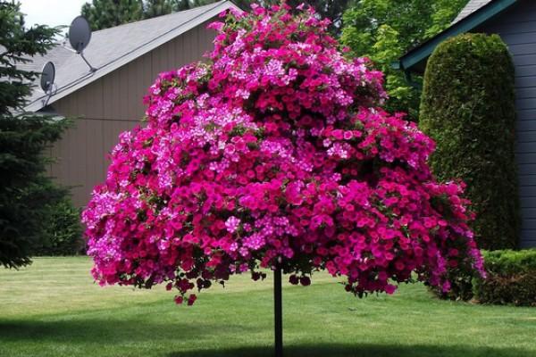 Пример цветения ампельной (каскадной) петунии