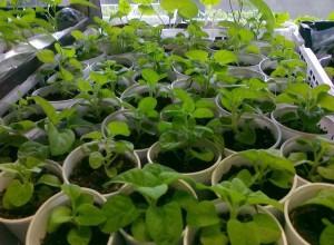 Подкармливать рассаду нужно утром, чтобы к вечеру листья и почва подсохли