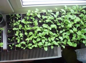 Комфортная температура, влажность воздуха, освещенность - важные условия для правильного взращивания рассады петунии