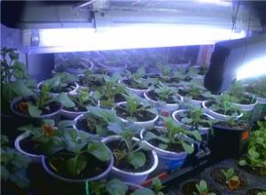 Часто рассаде петунии необходима дополнительная подсветка