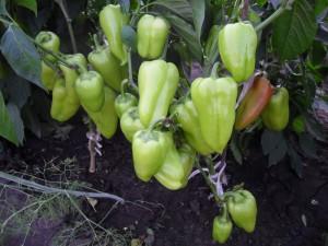vkusniogorod, перец (7)