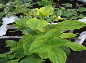 Желтение верхних листьев – признак проявление хлороза у петунии