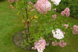 В осенний период нужно окучить кусты с высотой присыпки порядка 20-30 сантиметров