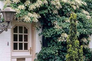 Гортензия черешковая, вьющаяся лиана: отзывы владельцев