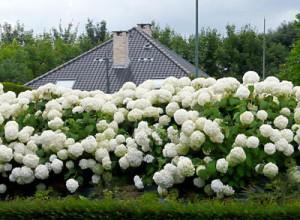 Гортензия Анабель - великолепное украшение сада