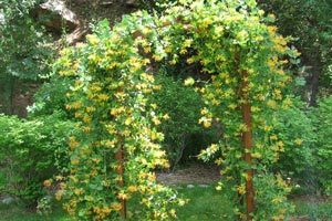 bloomingtrumpetvines