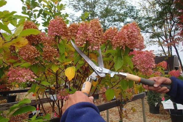 Обрезка гортензии после цветения