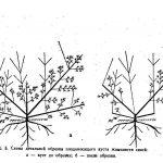 Схема омоложения кустарника