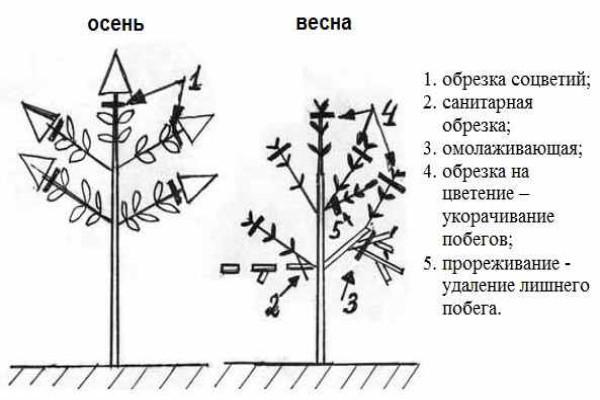Этапы обрезки метельчатой гортензии (общая схема)