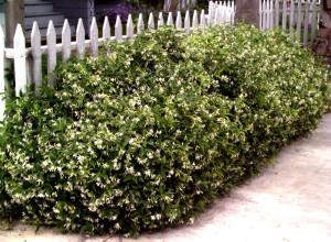 Декоративное применение жимолости в саду