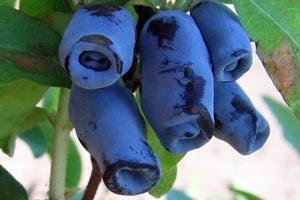 Правильный уход позволит убрать обильный урожай ягод
