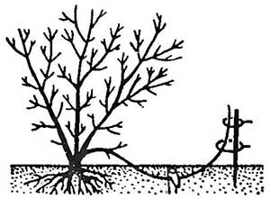 Размножение отводками (нажмите, чтобы увеличить)