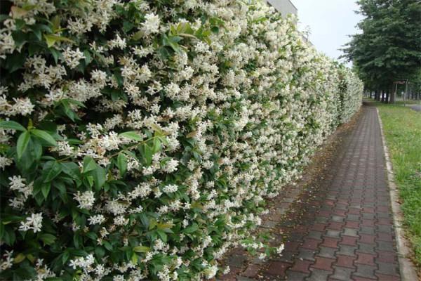 Живая изгородь из жимолости сорта Каприфоль