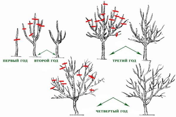 Схема обрезки кустов жимолости