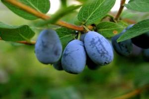 Кроме красивых цветов, кустарник под конец июня порадует вкусными кисло-сладкими ягодами. Есть среди видов жимолости и ядовитые растения, которые имеют красные круглые ягоды – это жимолость обыкновенная («волчье лыко»)