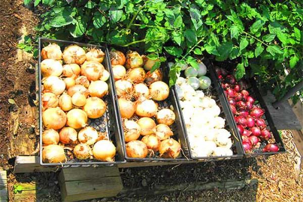 Лук-севок хранят на стеллажах слоем 15—25 см