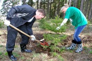 Как посадить елку из леса на даче