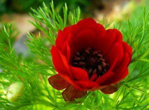 Цветов адонис