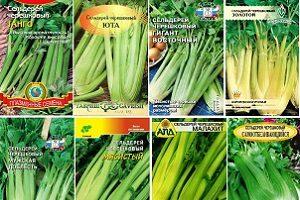 semena-chereshkovogo-selderea