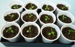 Выращивание гвоздики