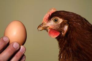 Почему куры клюют яйца что делать: причина, как решить проблему, как отучить куриц расклевывать яйца, что делать, чтобы не клевали