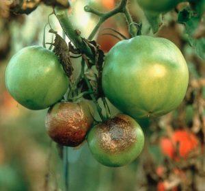 Болезни помидоров фитофторроз