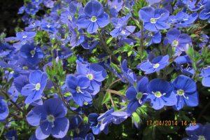 Вероника цветок фото