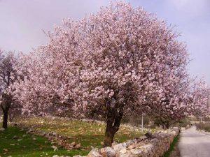 Дерево миндаля