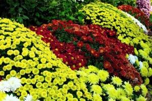 Осенние цветы однолетники