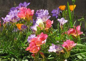 Фрезии и другие цветы в саду