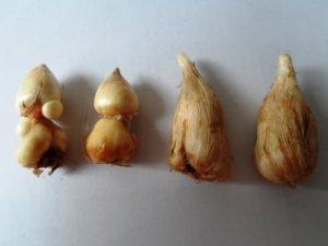 Фрезии луковицы