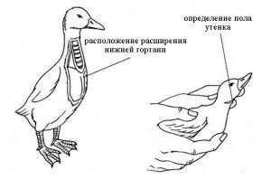 Как отличить утки и селезни