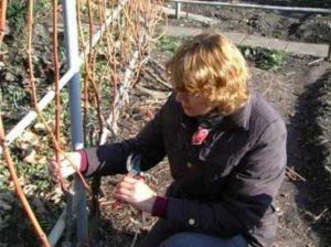 Как выполнять обрезку винограда
