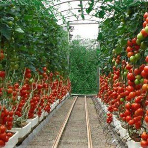 Как выращивать помидоры