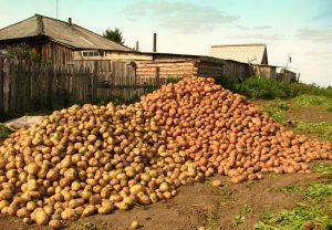 Картофель как сажать