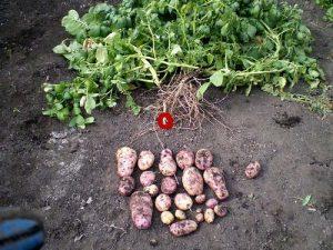 Картофель ласунок семена