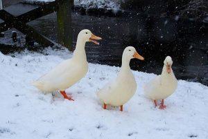 Купание в водоемах уток зимой