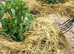 мульча сено трава