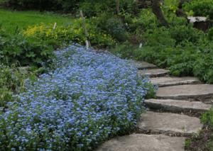 Незабудка в саду