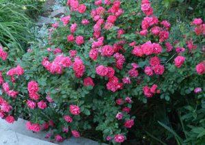 Парковые розы (шиповник)