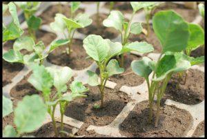 Получение рассады цветная капуста