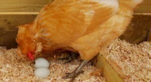 Расклев яиц курами