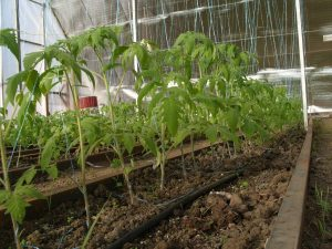 Рассада высаживание помидоров
