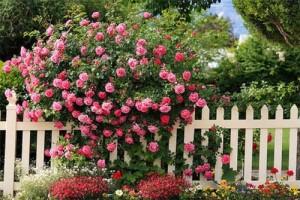 Розы кустовые - виды, правила посадки, ухода и обрезки. Жми!
